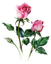 Pink Realistic Roses Flowers Isolated On White Background. Hand-drawn  Botanical Watercolor Illustration.