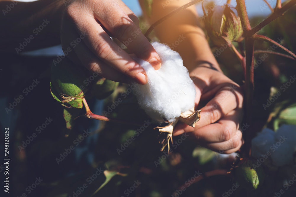 Fototapety, obrazy: Hand holding natural cotton flower blooming at sunset