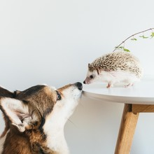 Very Cute African Pygmy Hedgehog On Coffee Table With Corgi Dog