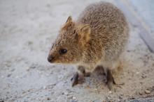 Wild Quokka On Rottnest Island