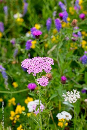 Fototapeta Yarrow (Achillea millefolium), pink flowerhead in a wildflower meadow, Rutland Water, Leicestershire, England, UK. obraz