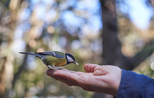 Great Tit Eating In Hand