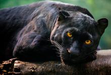 Melenistic Leopard