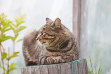 Striped Cat Sitting On Tree Stump Outdoors In Country Yard.