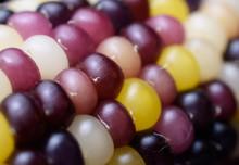 Closeup Of Multicolored Flint Aka Indian Corn On The Cob