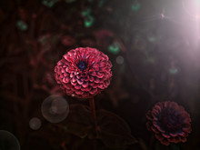 Close Up Of A Deep Red Flower In The Shadows.