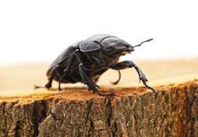 Big Black Beetle On A Stump.