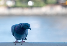 Blue Pigeon Perched