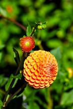 Flower Of The Dahlia Jomanda I...