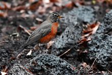 Gorgeous Female American Robin...