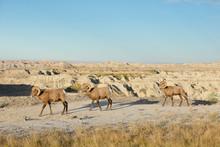 Three Bighorn Sheep