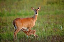 Nursing White-tailed Deer