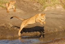 Lion Jumping