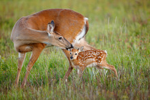 White-tailed Deer With Fawn