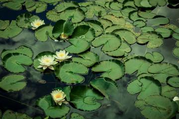 Lotus Flowers tiho plutajući u ribnjaku. Opuštajuća priroda.