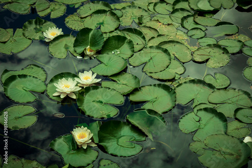 Autocollant pour porte Nénuphars Lotus Flowers quietly floating in a pond. Relaxing nature.