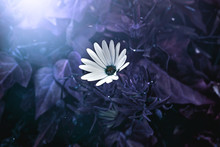 A White Daisy In A Vivid Indig...
