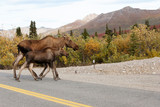 Moose in Road