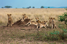 Lioness And Cub Sitting In Field
