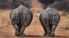 Rhinoceros Walking Outdoors