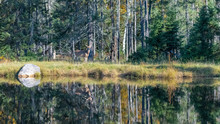 Canada, A Deer Standing In The Forest Near A Lake, With Reflection In The Water, Panorama Of A Beautiful Landscape