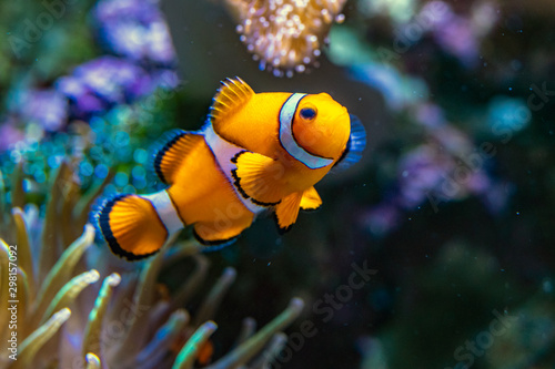 Clownfisch Fototapete