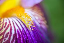 Macro D'un Iris