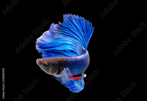 Capture the moving moment of fighting fish isolated on black background ( Betta Canvas Print