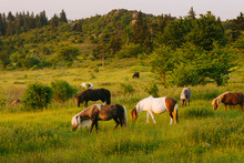 Wild Ponies Grazing In Mount R...