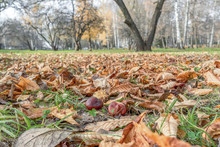 Chestnuts Fallen Leaves And Conkers Burs On Grass On Background Of Autumn City Park. Selected Focus