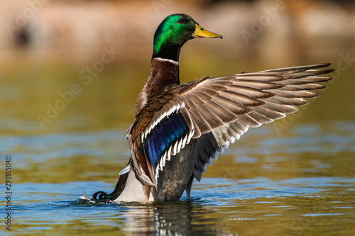 A Mallard duck spreading its wings Canvas-taulu