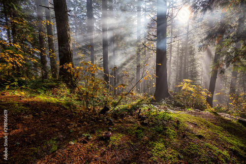 Fotografie, Tablou  Beautiful Canadian Nature View of the Forest during a foggy morning sunrise