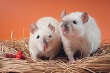 Two Friendly Siamese Rats Sit ...