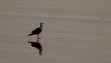 Western Gull Standing On Low T...