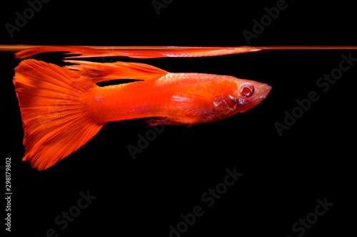 Superb male albino full red guppy fish Wallpaper Mural