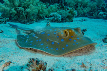 Blue Spotted Stingray On The S...