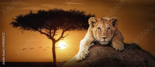Photo Lion Cub African Sunset Scene Web Banner