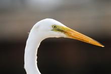 Portrait Of Egret