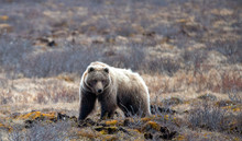 Grizzly Bear [ursus Arctos Horribilis] In The Mountain In Denali National Park In Alaska United States