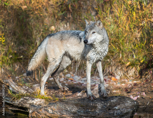 Canvas Prints Wolf Lone Wolf