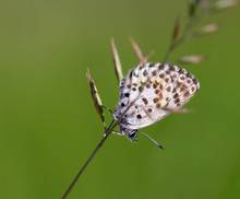 Close Up Of Chequered Blue Butterfly (scolitantides Orion) Hanging On A Leaf Of Grass In South Tyrol, Italy, Europe