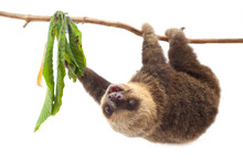 A Sloth Travels On A Branch