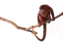 Venezuelan Red Howler (Alouat...