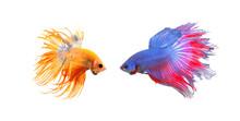 Siamese Fighting Fish (Betta S...