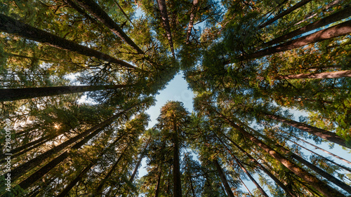 Obraz trees in the forest create a heart shape looking up - fototapety do salonu