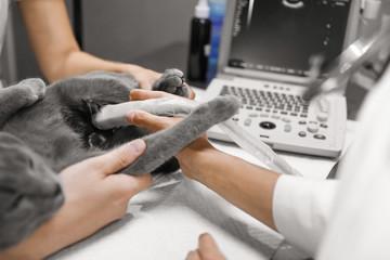 Grey cat having ultrasound scan in veterinary clinic, closeup
