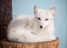 Arctic Fox.  It Is A Small Pre...