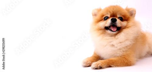 Valokuvatapetti Pomeranian dog with White backdrop and copy space.