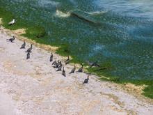 Cormorants Rest On The Seafron...