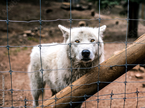 Poster Loup Wolf behind a fence.